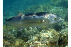 Tecniche e consigli sulla pesca al Pesce Serra