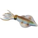 Canne da Seppia Calamaro Totano